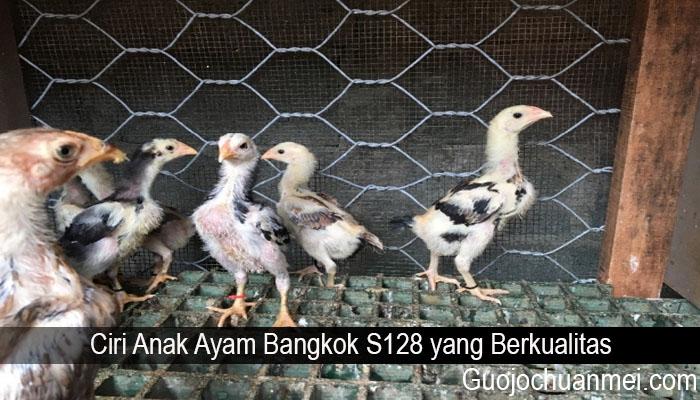 Ciri Anak Ayam Bangkok S128 yang Berkualitas