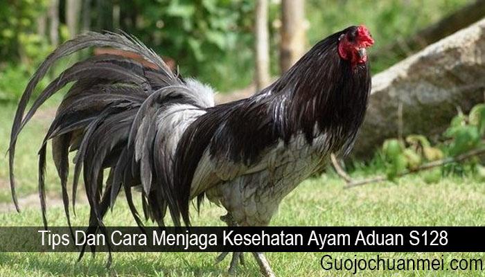 Tips Dan Cara Menjaga Kesehatan Ayam Aduan S128