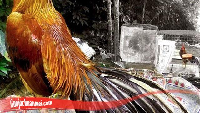 Ketahui Agar Bisa Tumbuhkan Bulu Ayam SV388