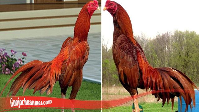 Ketahui Ayam Bangkok Pilihan