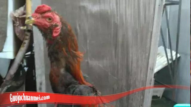 Mengenali Fakta Dari Ayam Brewok