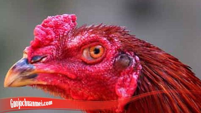 Pelatihan Sembuhkan Mata Ayam