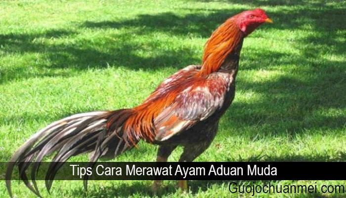Tips Cara Merawat Ayam Aduan Muda