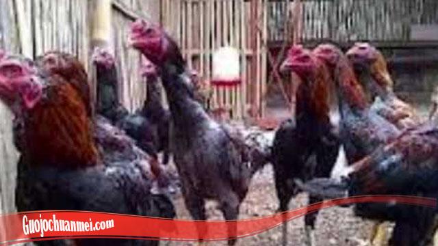 Trik Ternak Ayam Bangkok Akan Gampang
